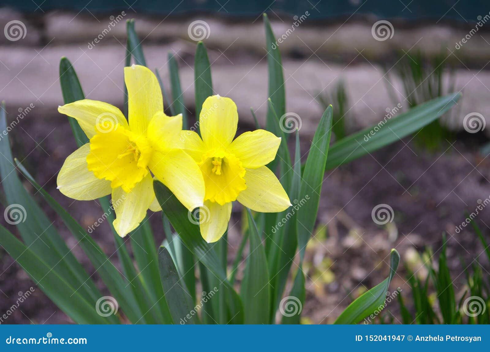 De gele lente van gele narcissenbloemen