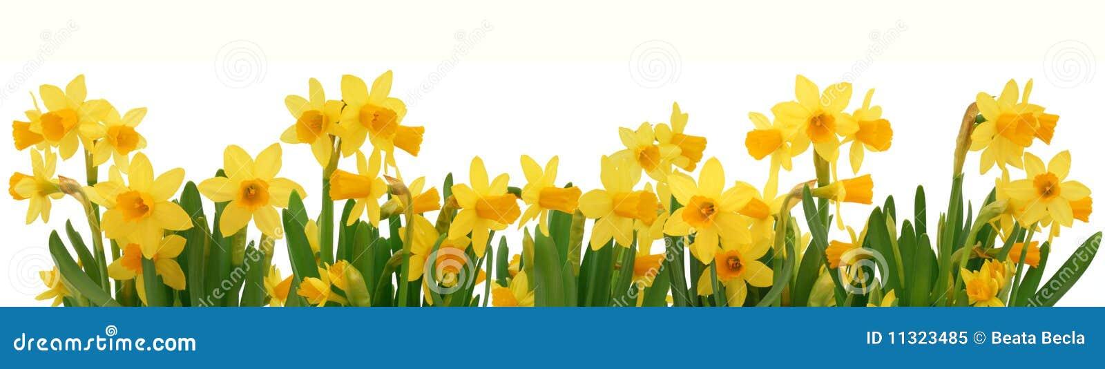 De gele narcissengrens van de lente