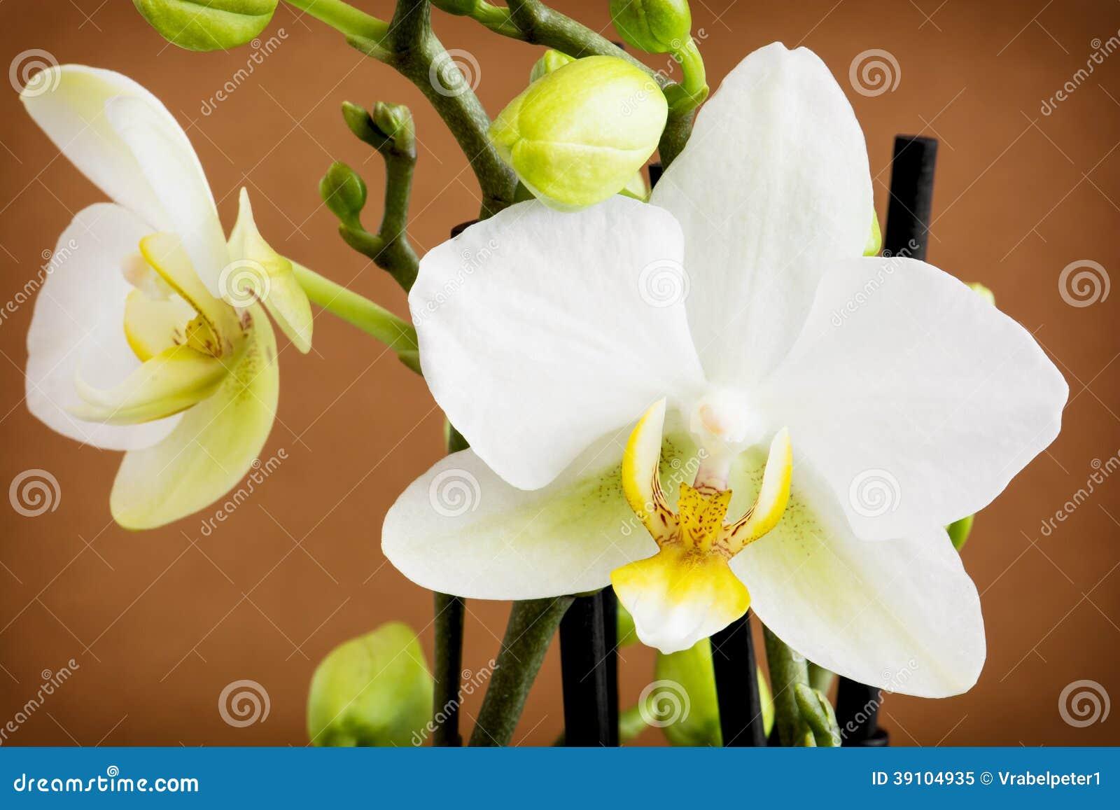 De gele orchidee van Nice