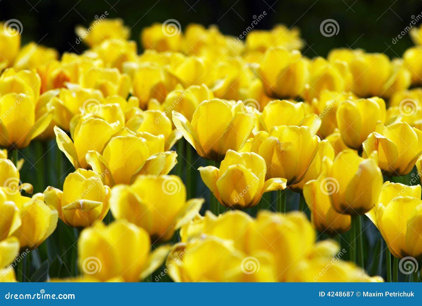 De gele tulp bloeit gebied