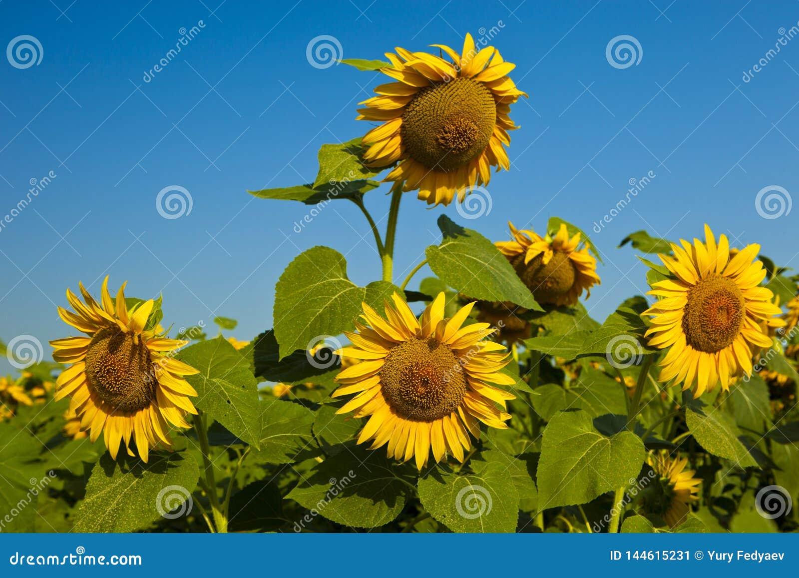De gele zonnebloemen op het gebied tegen de blauwe hemel rijpen het gebied van de bloemenzonnebloem, de zomer, zon