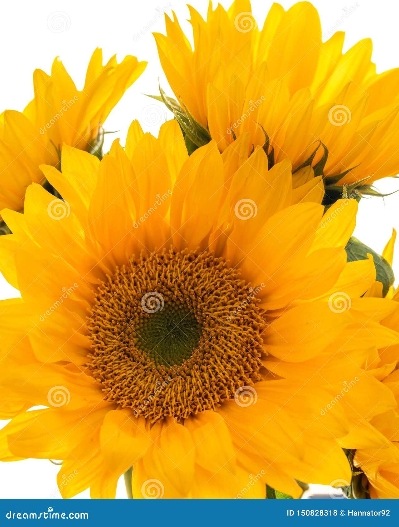 De gele Zonnebloemen sluiten omhoog op Witte Achtergrond, omhoog sluiten, Verticale Banner