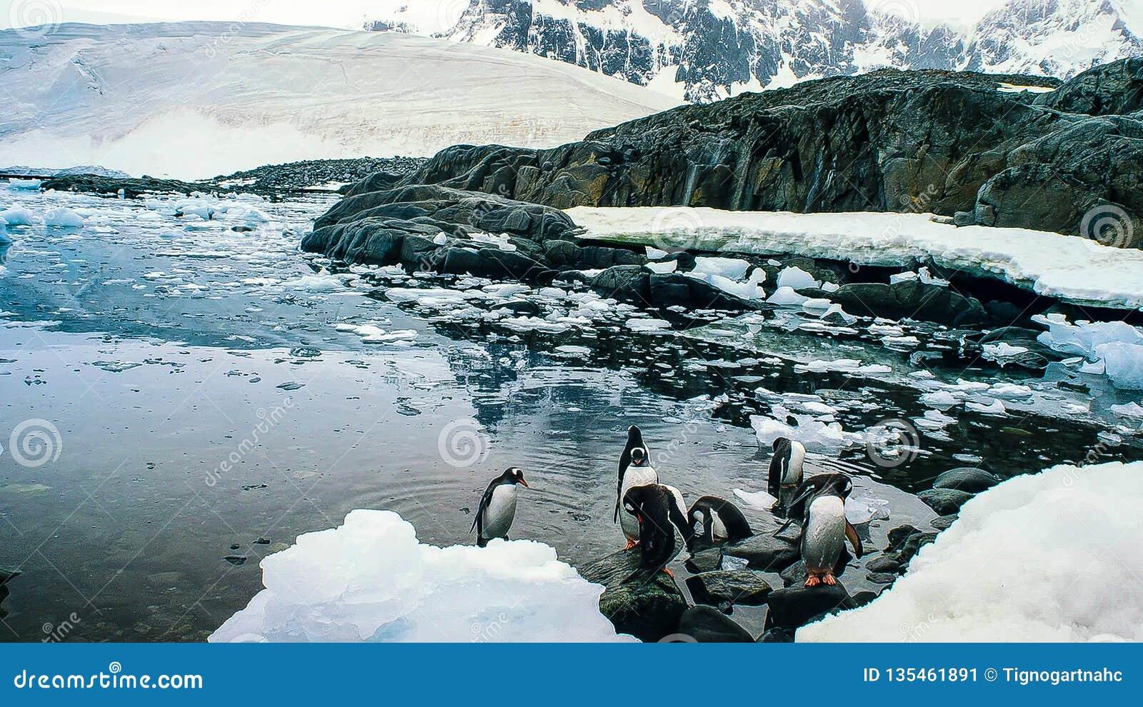 De gentoopinguïn met lange staart is een pinguïnspecies in de soort Pygoscelis, Antarctisch Schiereiland, Antarctica