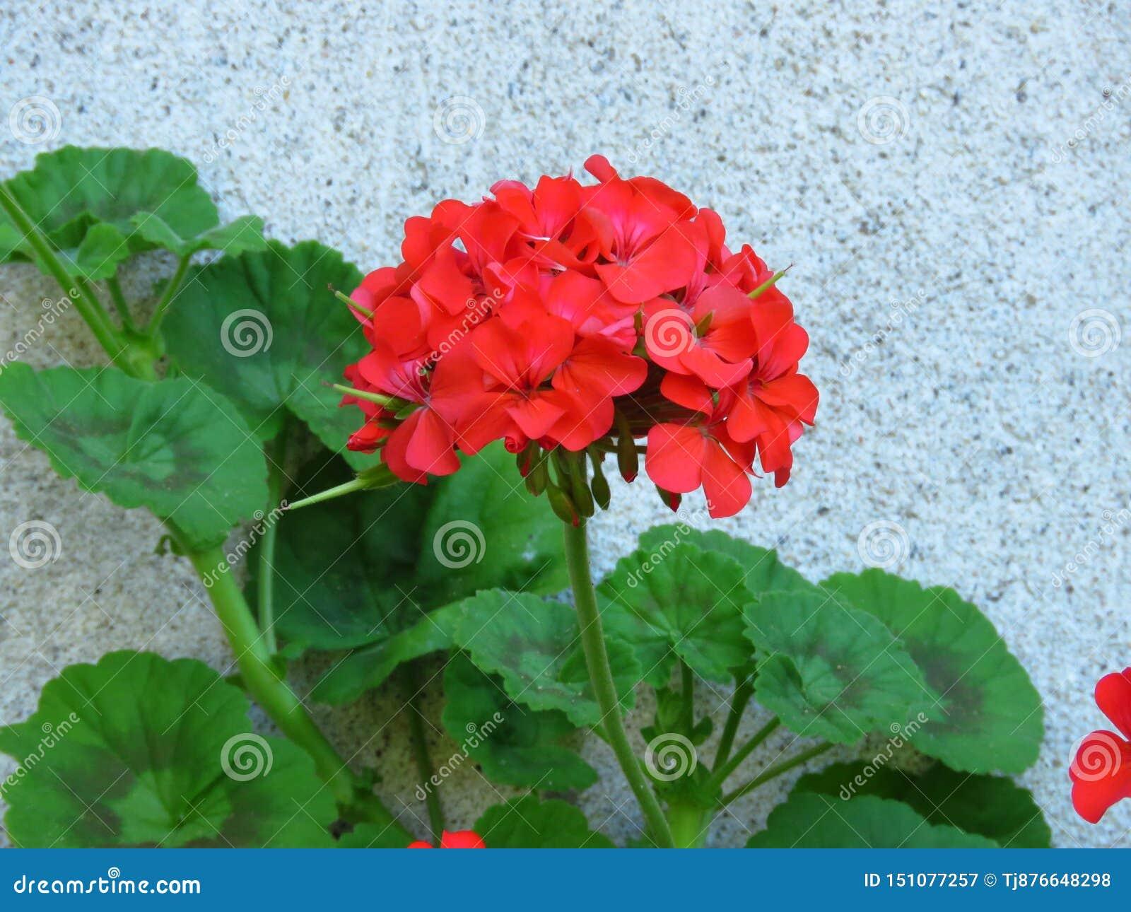 De geranium 'Gelukkige Gedachten Rode 'Ooievaarsbek met rood bloeit en trillende groene bladeren op witte muurachtergrond