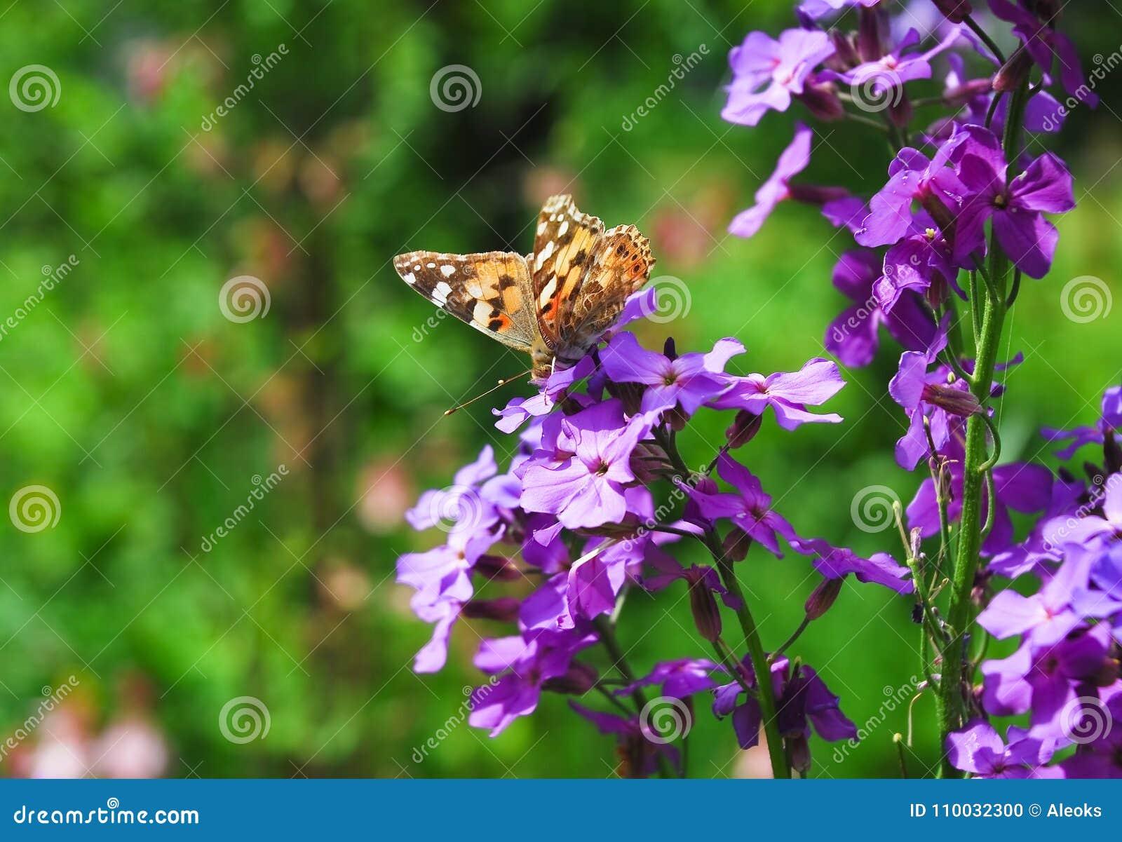 De geschilderde damevlinder op Purpere bloemen van Hesperis