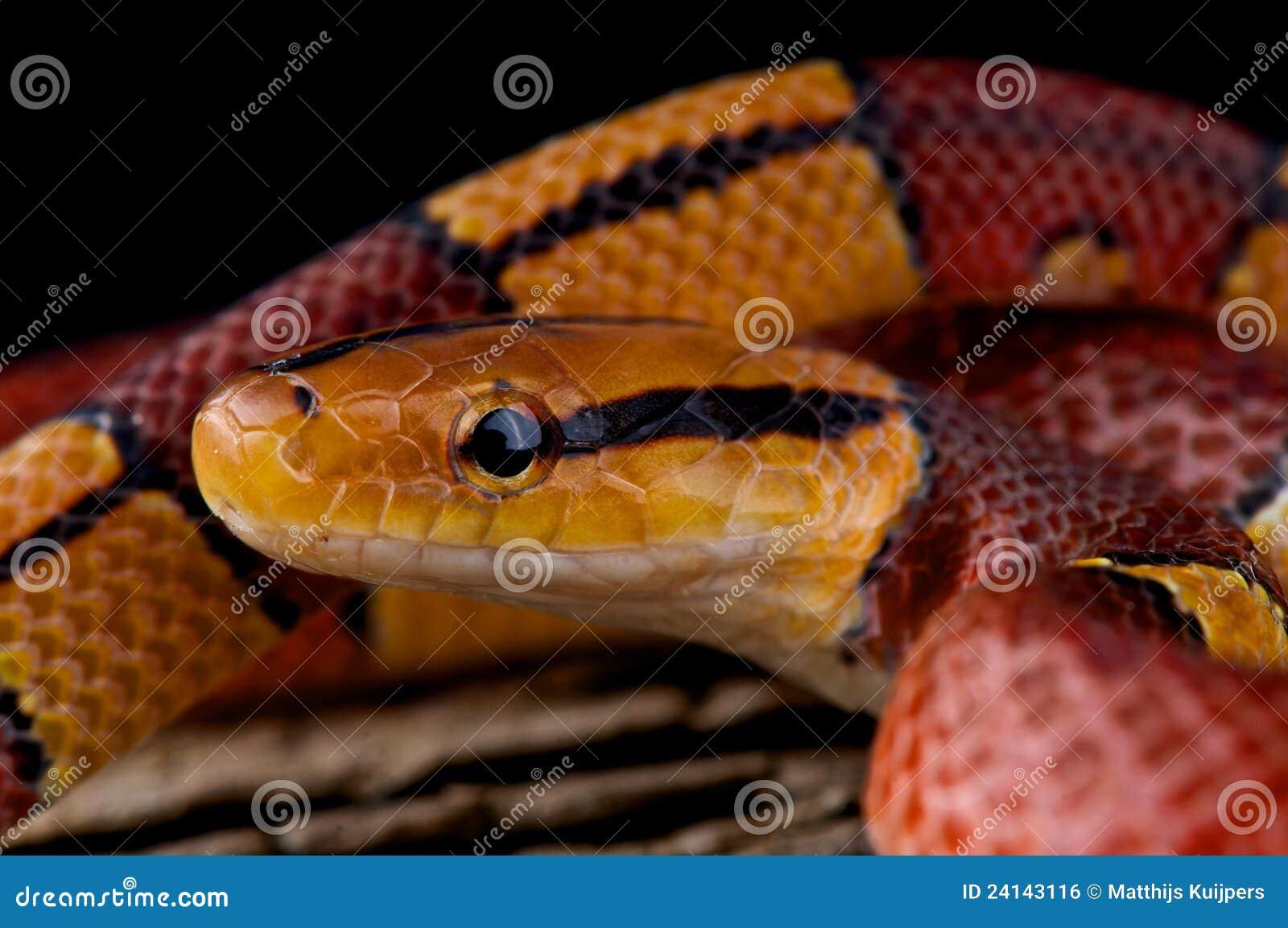De gestreepte slang van de bamboerat