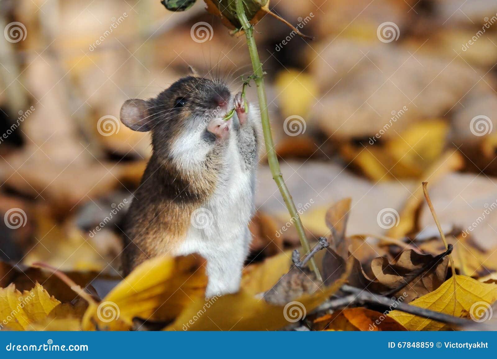 De gestreepte Veldmuis eet aanraking-me-niet installatie