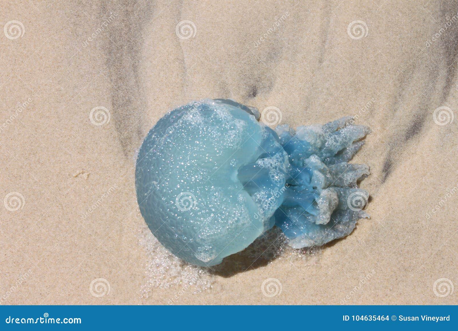 Download De Gevaarlijke Blauwe Kwallen Wasten Omhoog Op Het Strand Stock Foto - Afbeelding bestaande uit gelei, schoonheid: 104635464