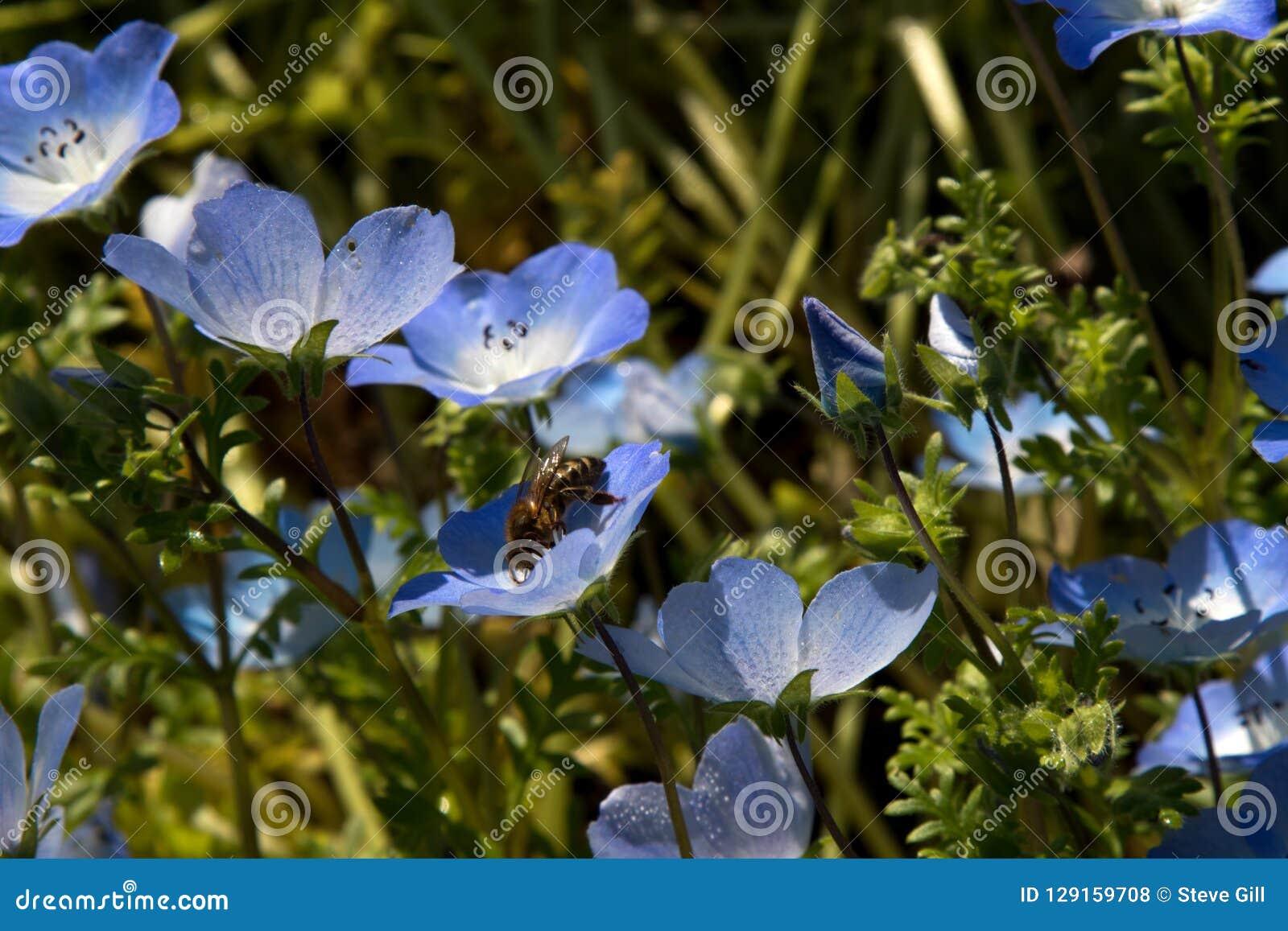 De gevoelige Bloemen van Baby Blauwe Ogen en Honey Bee