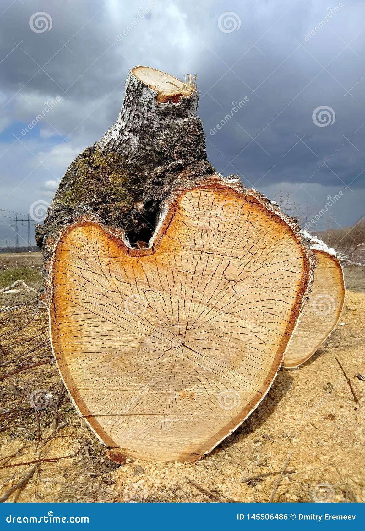 De gezaagde boomstam van een berkboom ligt op de grond