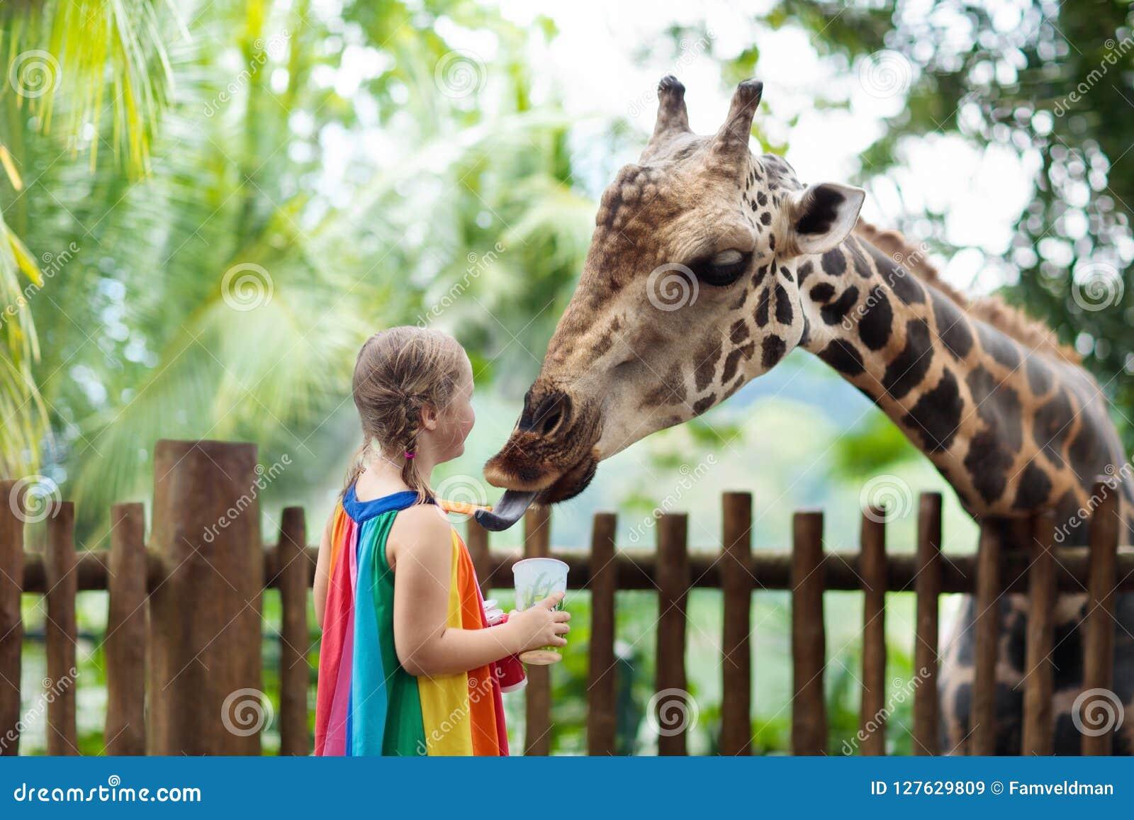 De giraf van het jonge geitjesvoer bij dierentuin De kinderen bij safari parkeren