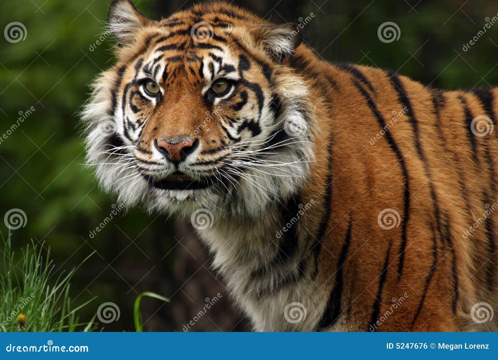 De Glimlach van de Tijger van Sumatran