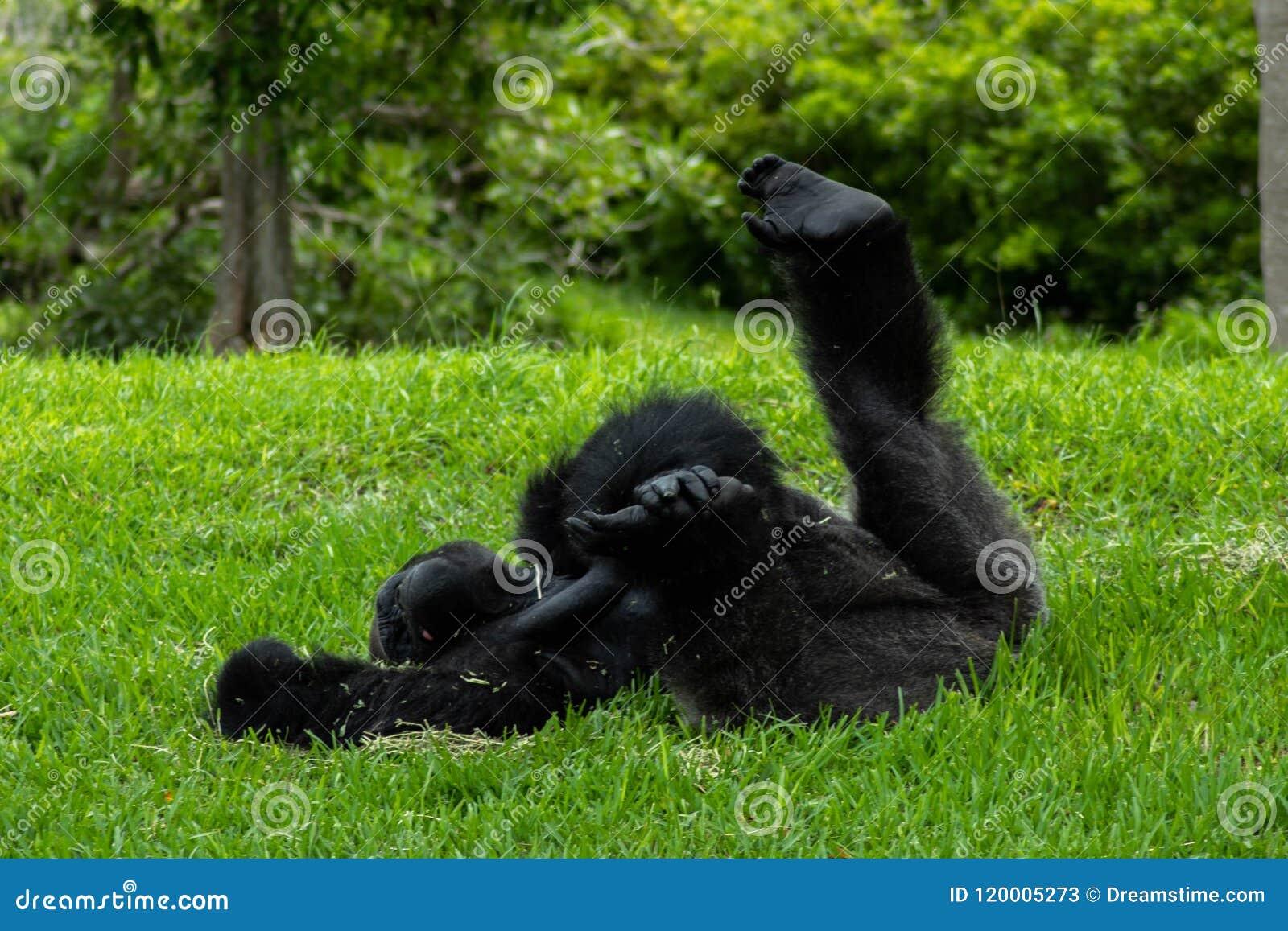 De Gorilla Lying dos dessus