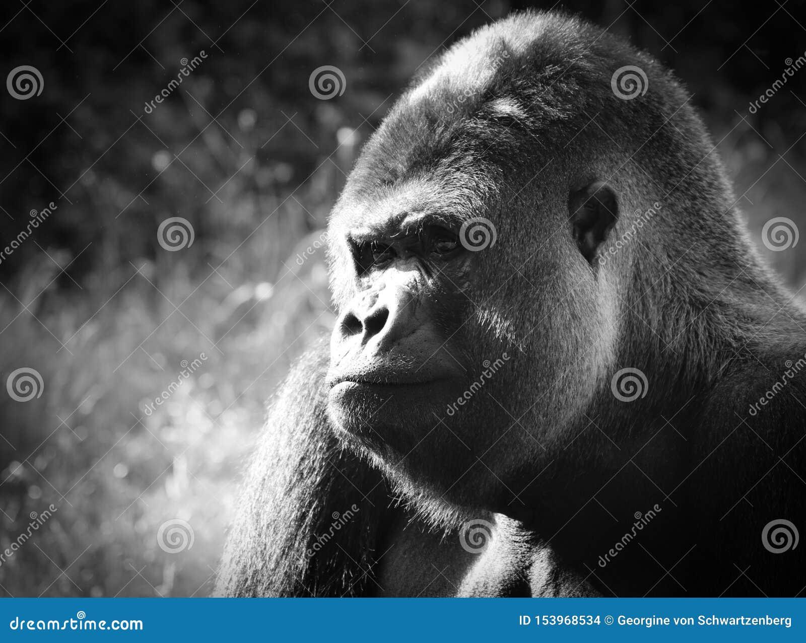 De gorilla s grond-blijven stilstaan, hoofdzakelijk herbivoor apen