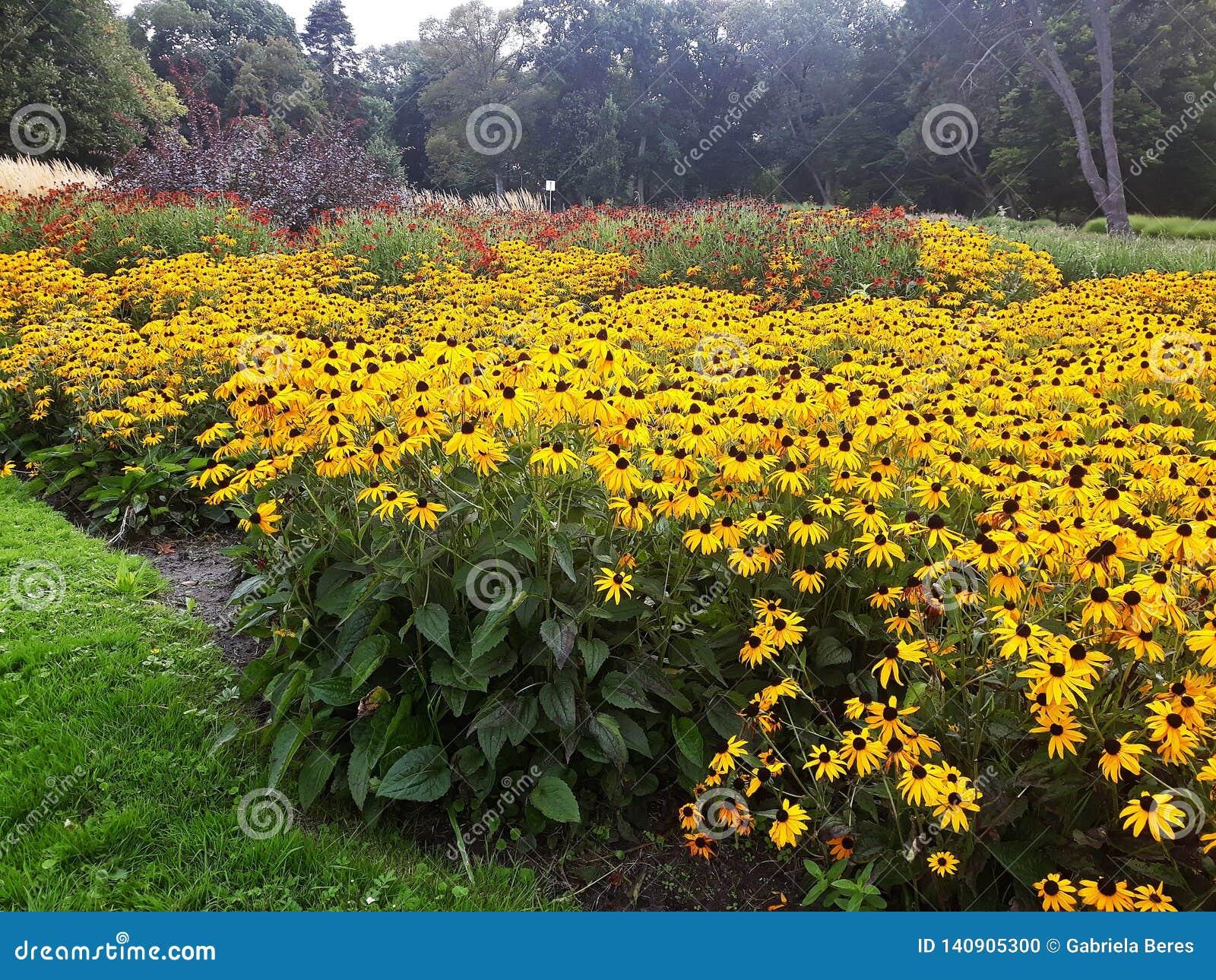 De gouden gele Rudbeckia-bloem kent ook als Zwarte Eyed Susan of Coneflower in een mooi park