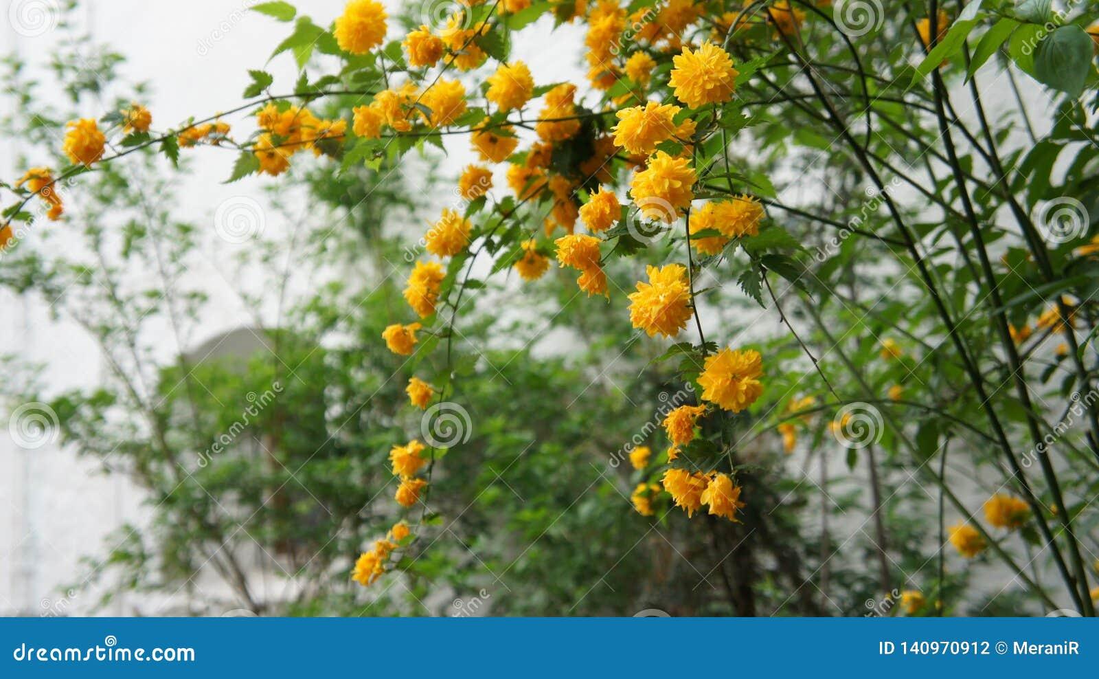 De gouden hangende tak van de Bloemenbloem Familie: Nam familie toe