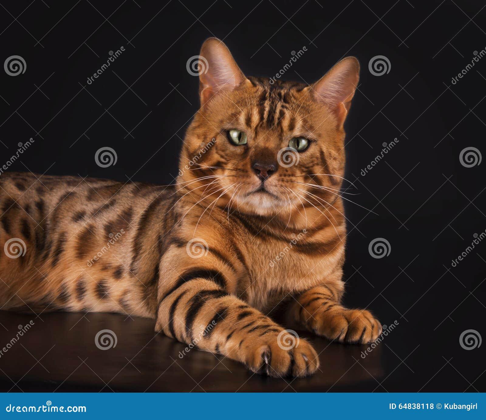 De gouden kat van Bengalen op een zwarte geïsoleerde achtergrond