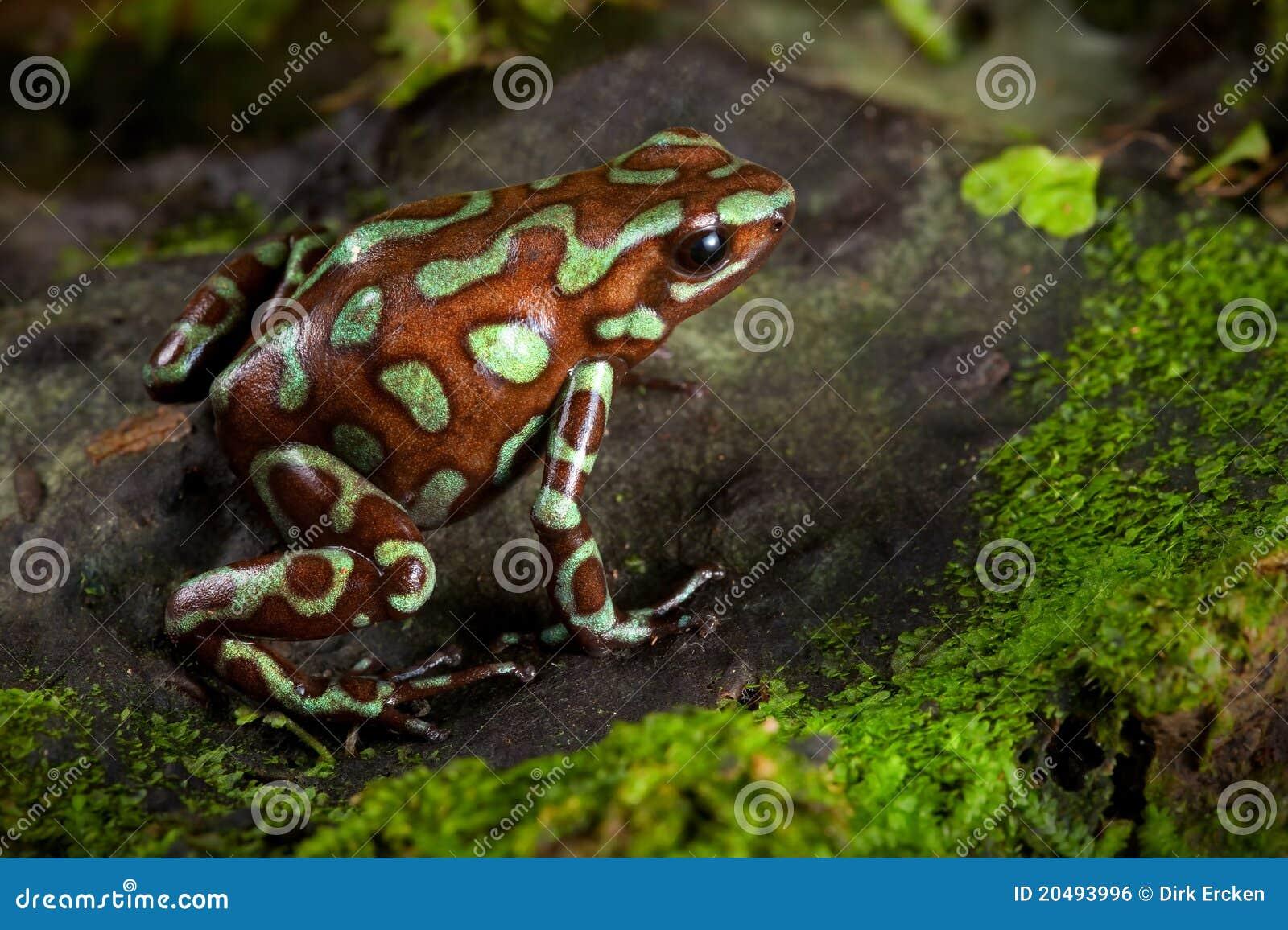 De gouden kikker van het vergiftpijltje van het regenwoud van Panama