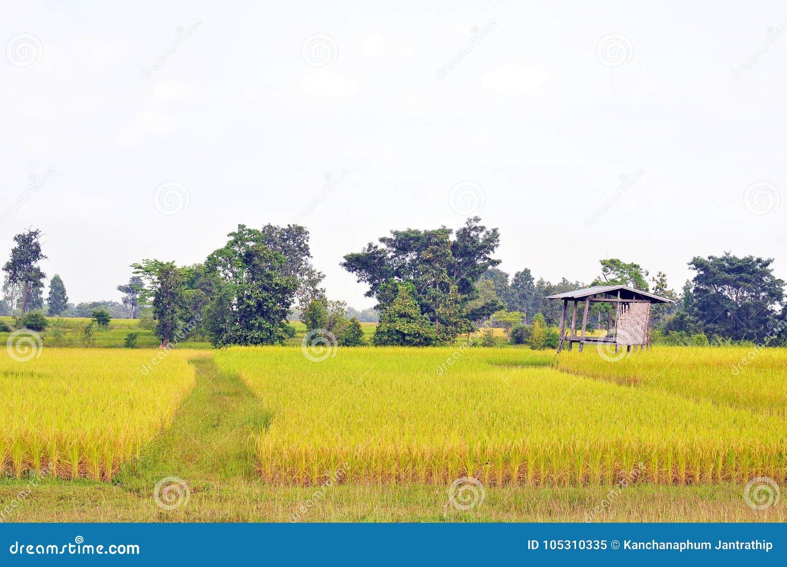 De gouden rijst die is geplante proper en klaar te oogsten schitteren