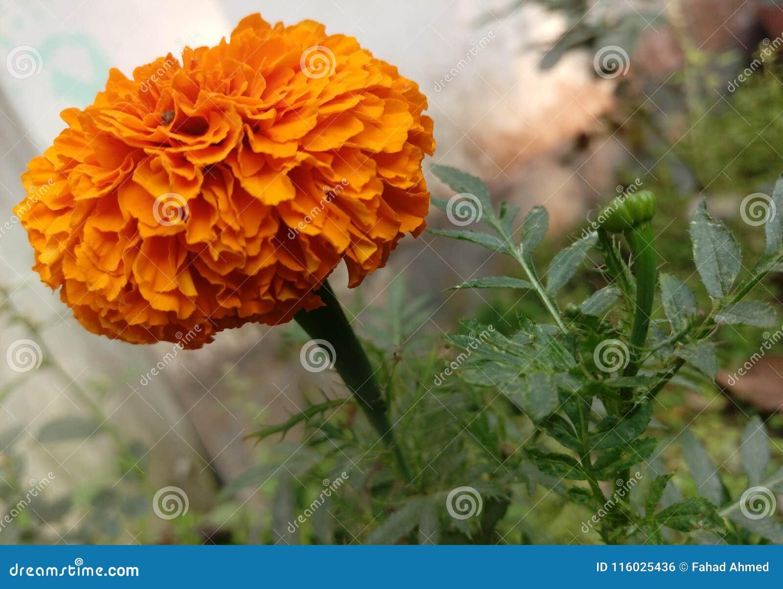 De goudsbloem is op stemming