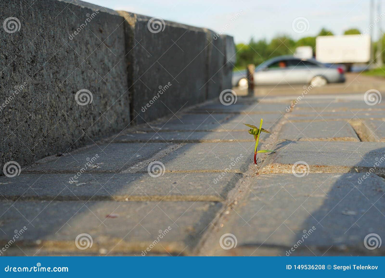 De grasspruit maakt zijn manier door asfalt Jongelui schiet onderbrekingen door het beton