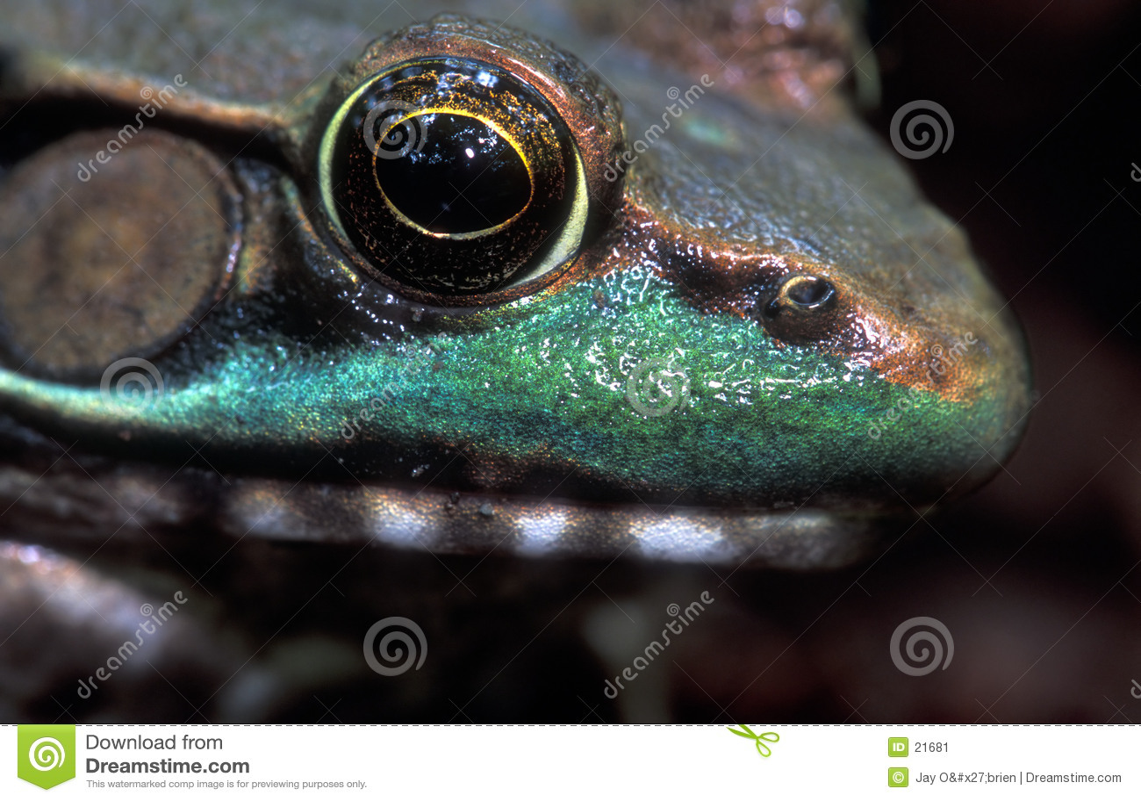 De grenouille fin vers le haut