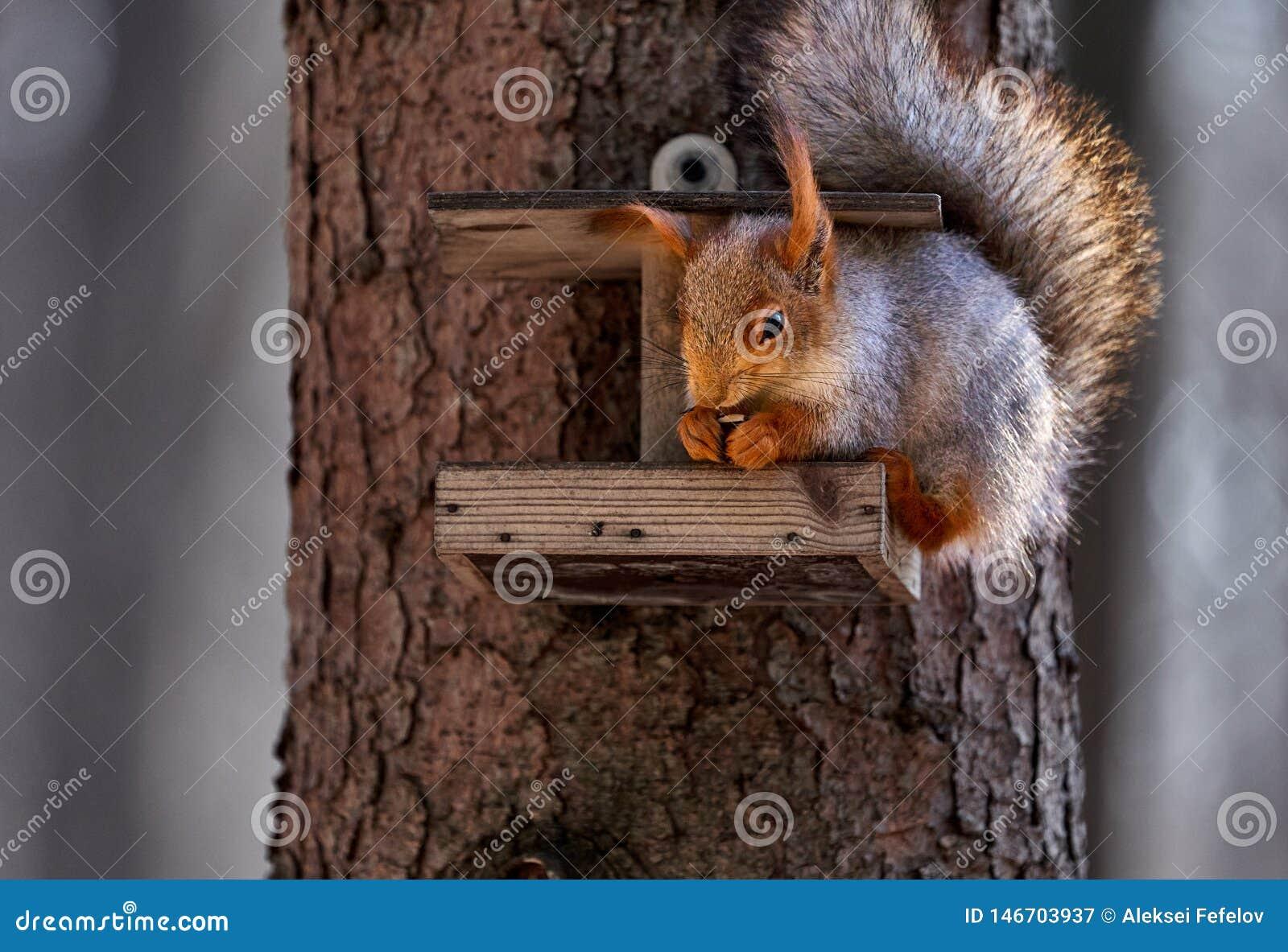 De grijs-rode eekhoorn loopt door het de lentepark en zoekt voedsel