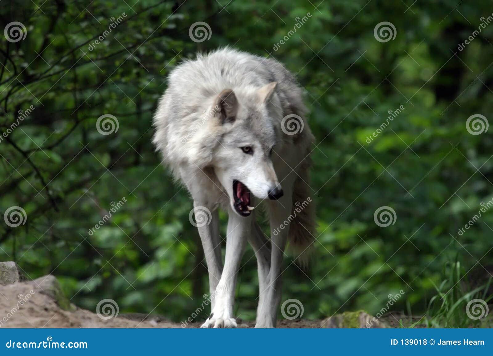 De grijze Geeuw van de Wolf
