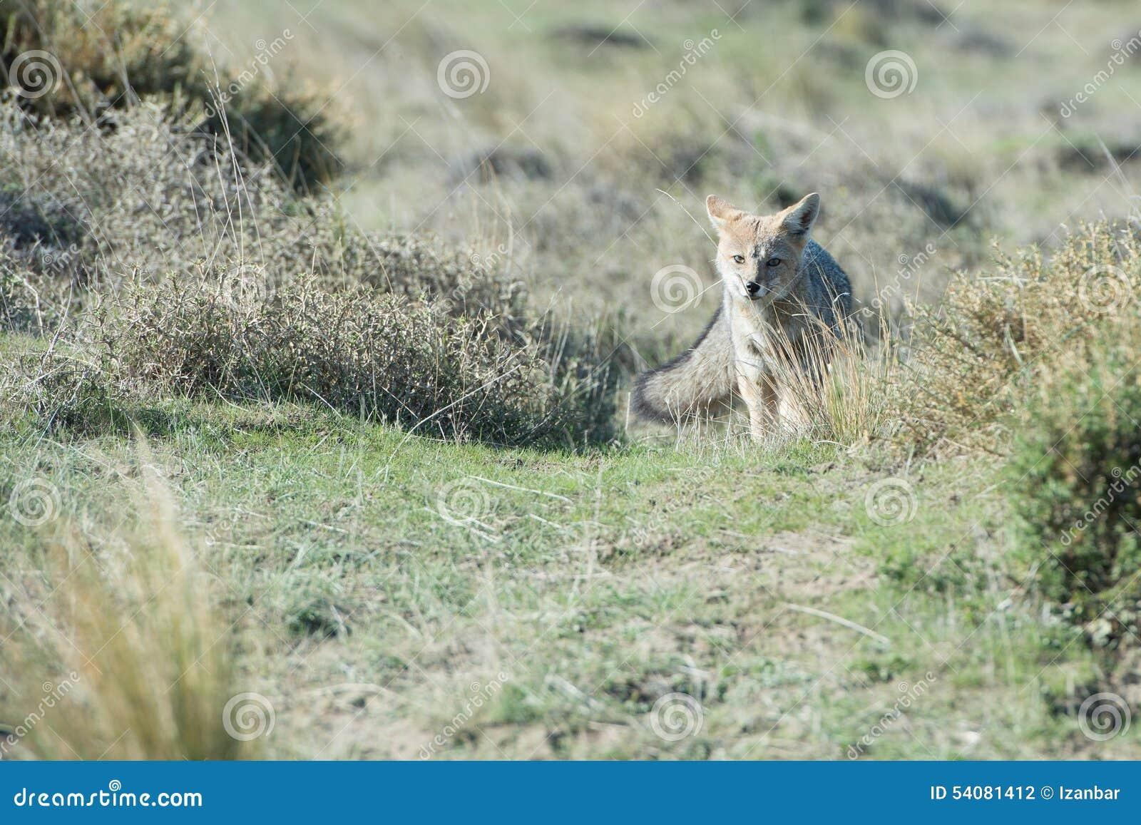 De grijze vos jacht op het gras