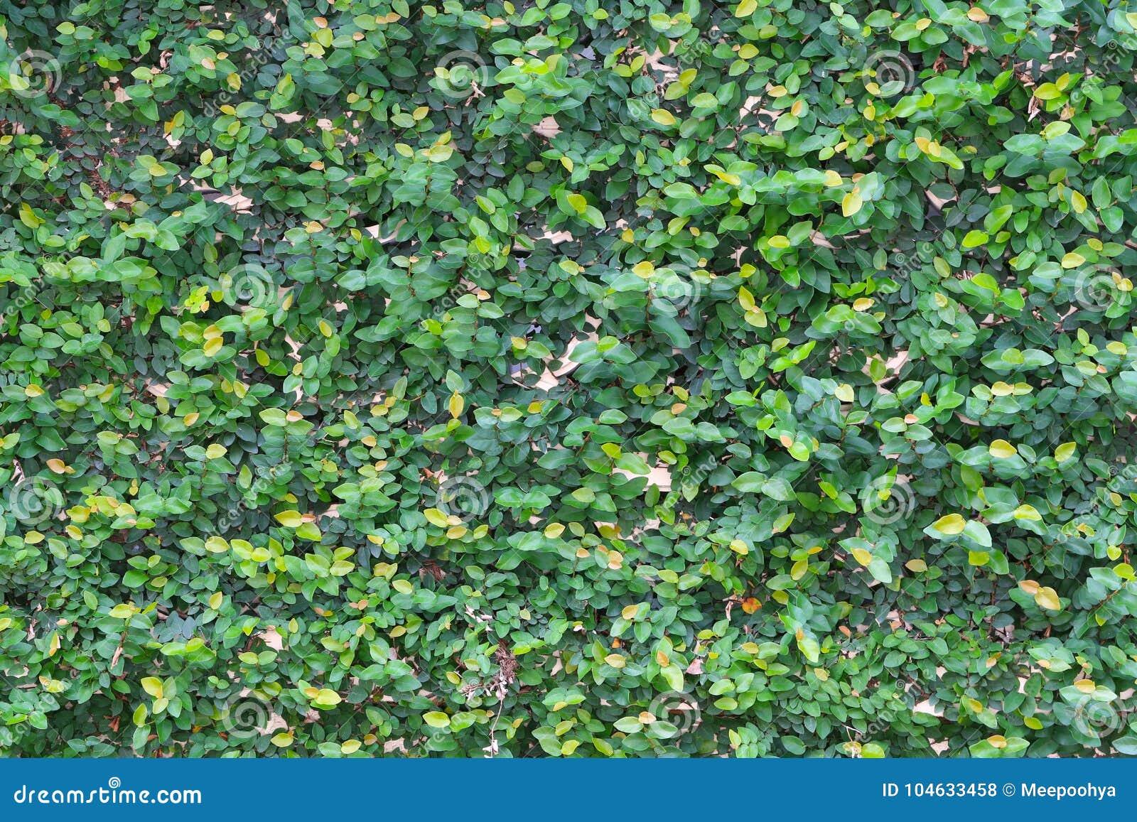 Download De Groene Achtergrond Van De Bladmuur Stock Foto - Afbeelding bestaande uit blad, tuin: 104633458