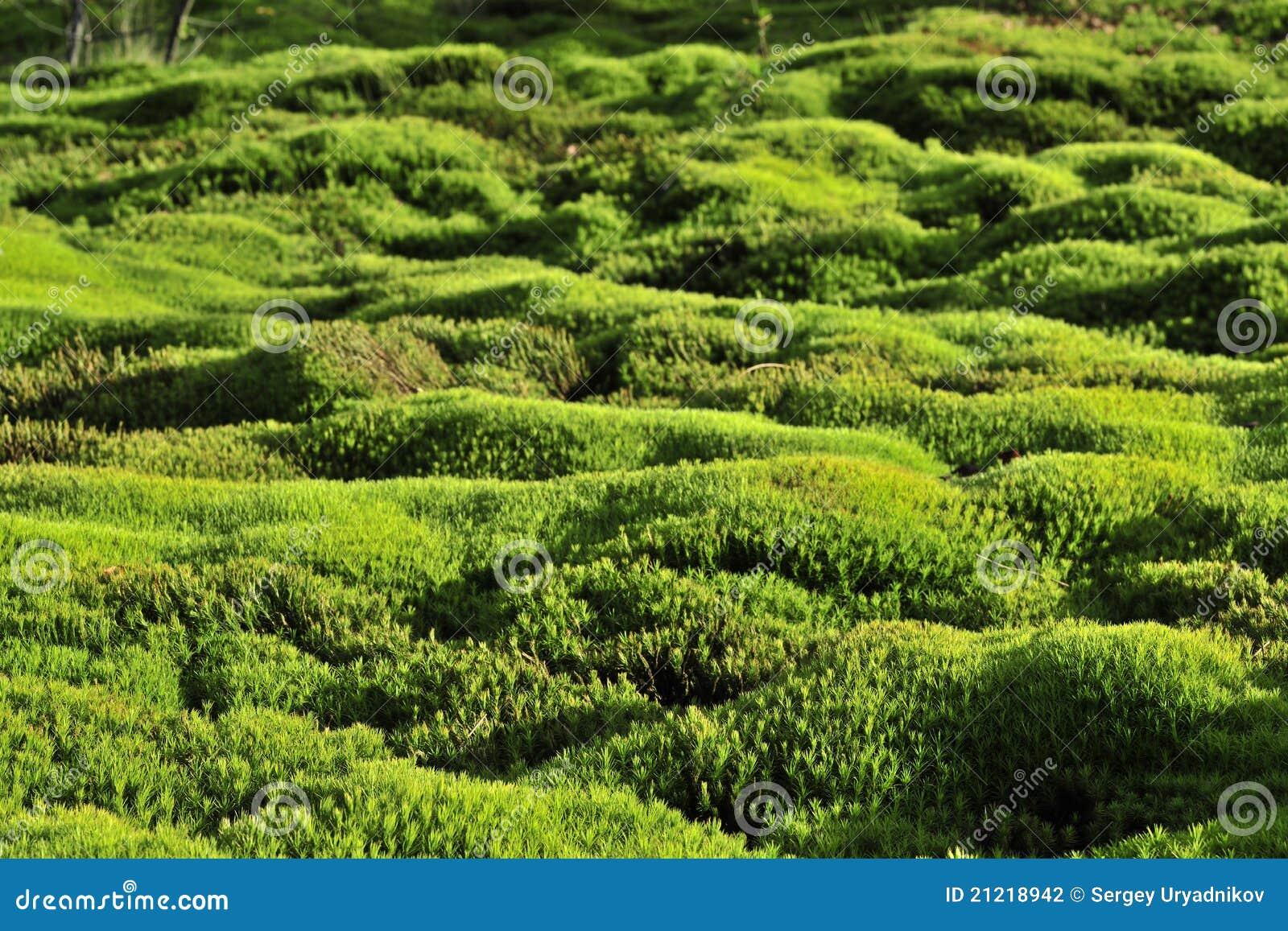 De groene achtergrond van het mos.