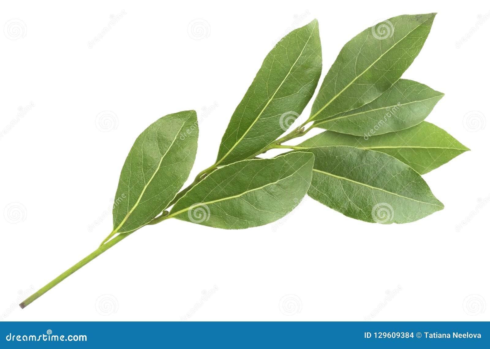 De groene aromatische die foto van de laurierbladtak, op wit wordt geïsoleerd Lauriertakjes Foto van de oogst van de laurierbaai