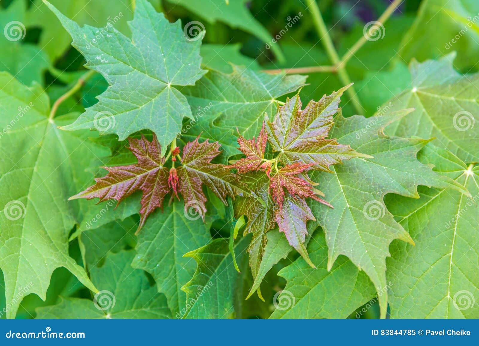 De groene Bladeren van de Esdoorn