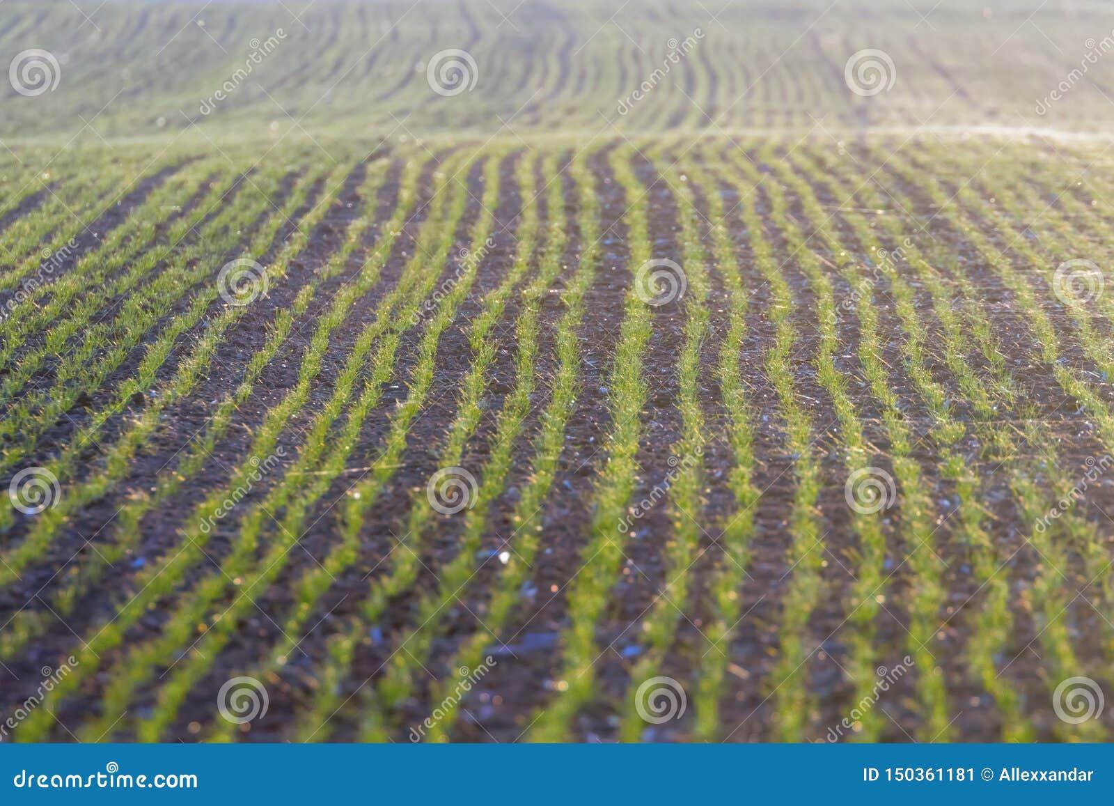 De groene gebieden met jonge spruiten bij zonsopgangspinneweb op een groene tarwe, springen landbouwzonsopgang op