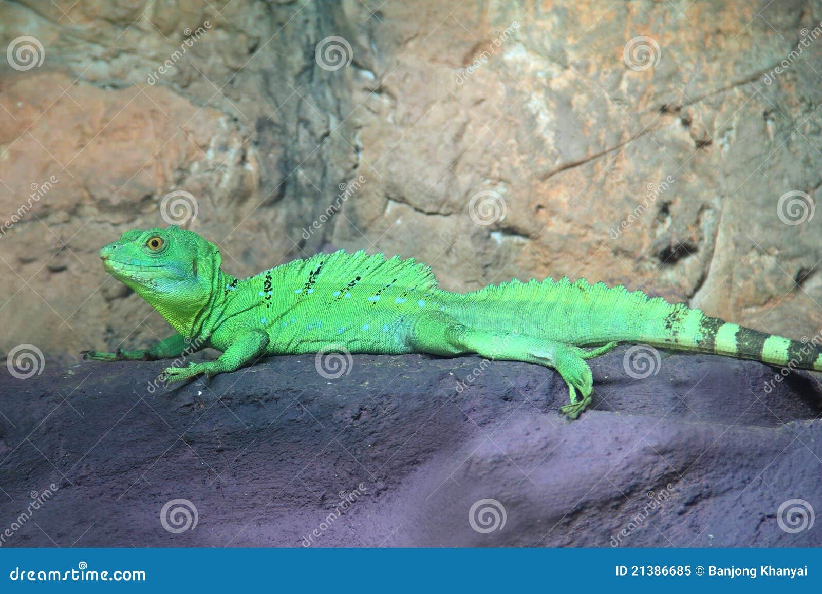 De groene Hagedis van de Basilisk (Basiliscus plumifrons)