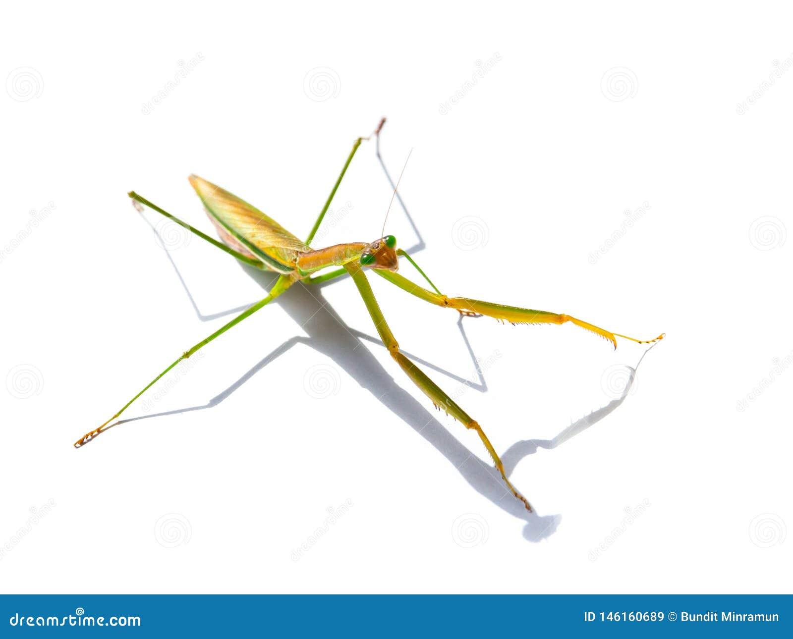 De groene Hierodula-patelliferaalgemene naam reuzeaziaat, de Bidsprinkhanen van Indochina of Harabiro-, is species van bidsprinkh