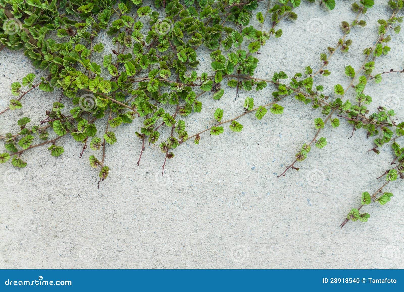 De groene installatie van de klimplant op witte muur stock foto afbeelding 28918540 - Muur tegel installatie ...