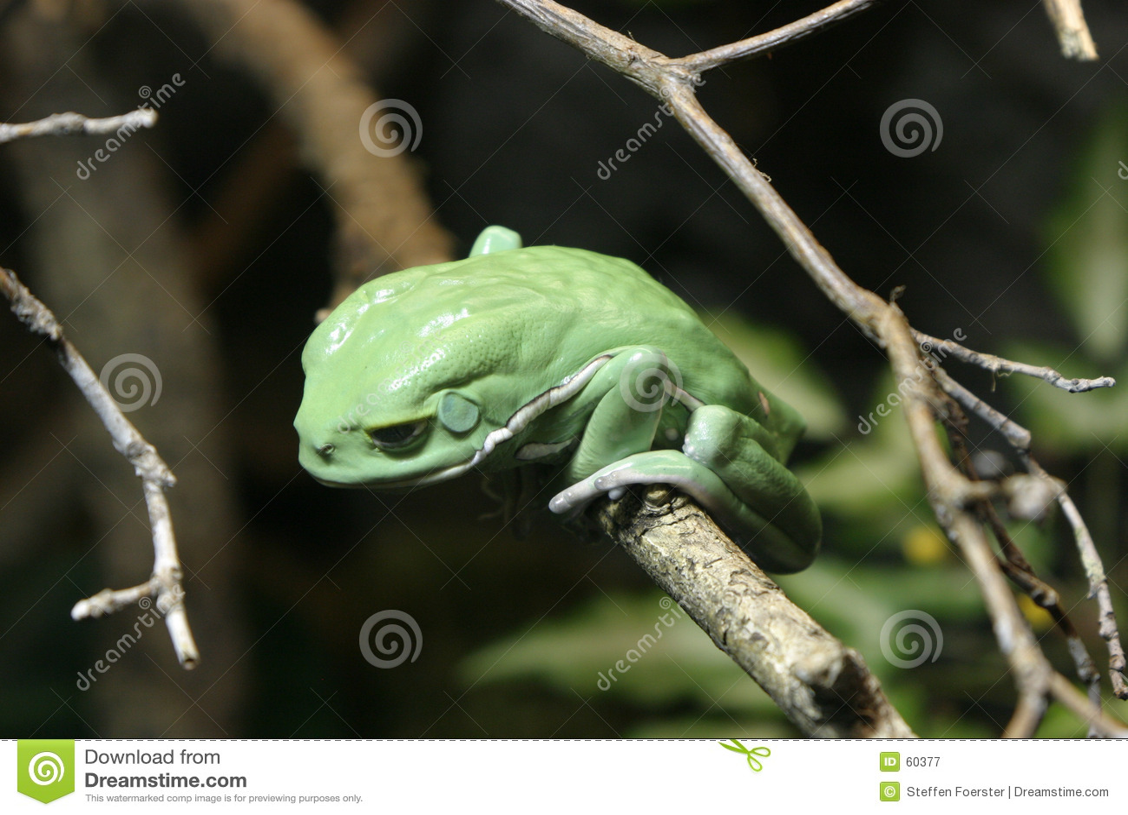 De groene Kikker van de Boom