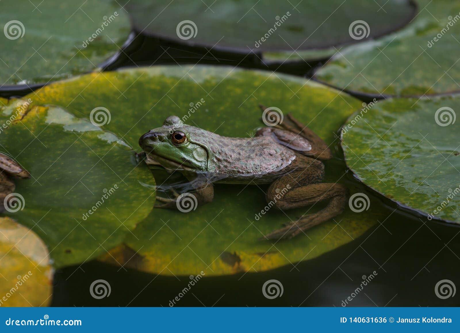 De groene kikker zit op leliebladeren in een vijver