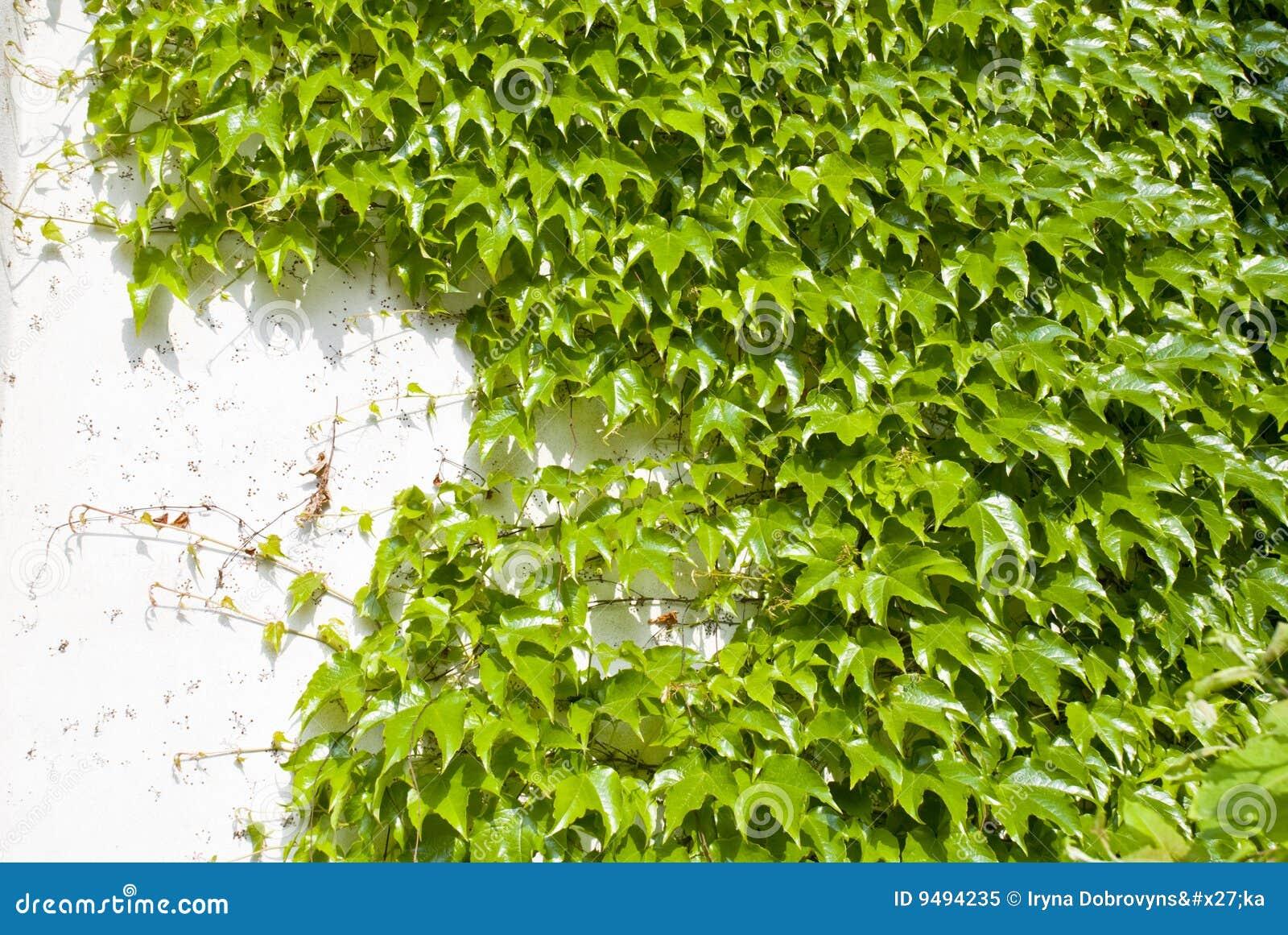 De groene klimop en de witte muur