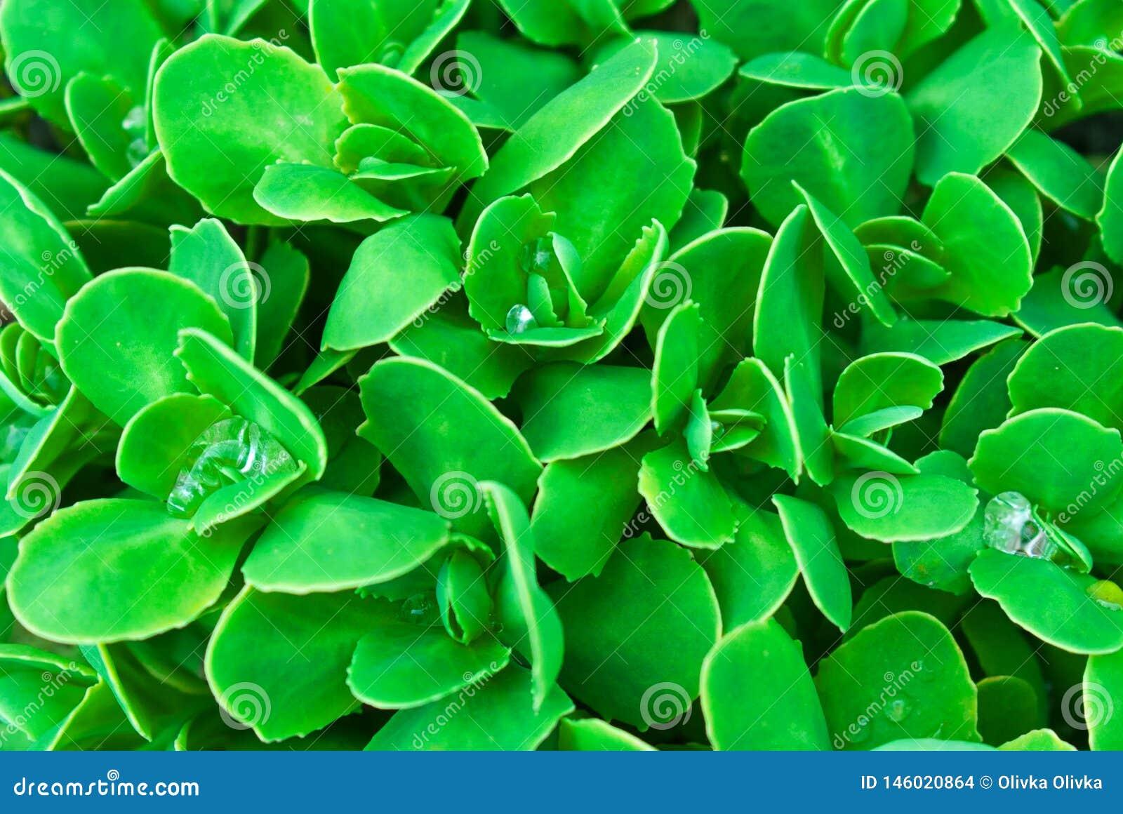 De groene natuurlijke achtergrond van het bladerenclose-up