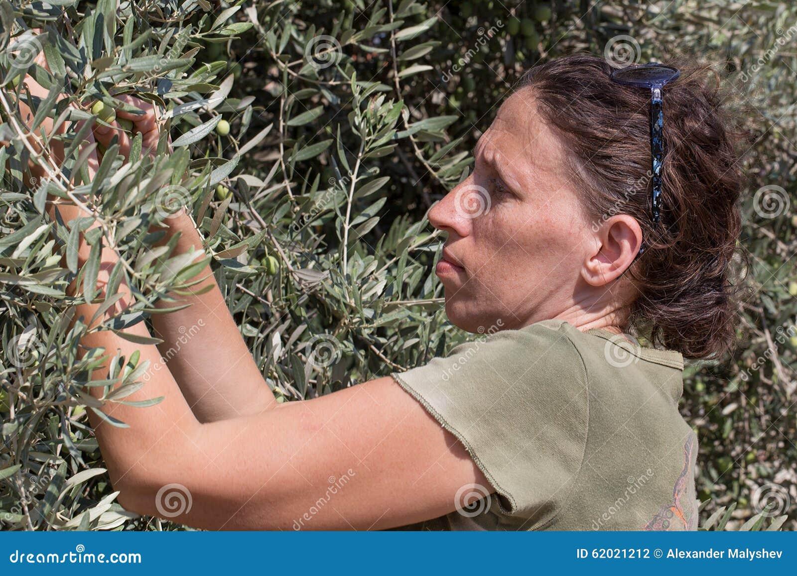 De groene olijven van de vrouwenoogst, Israël