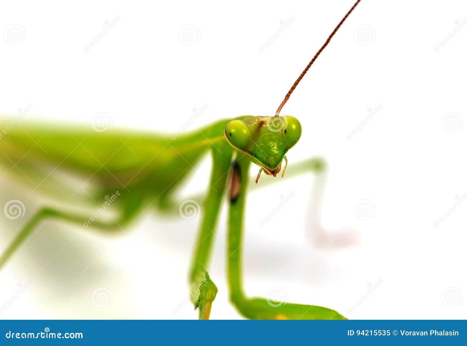 De groene sprinkhaan, gezicht zag uit op nadruk die, op witte achtergrond wordt geïsoleerd