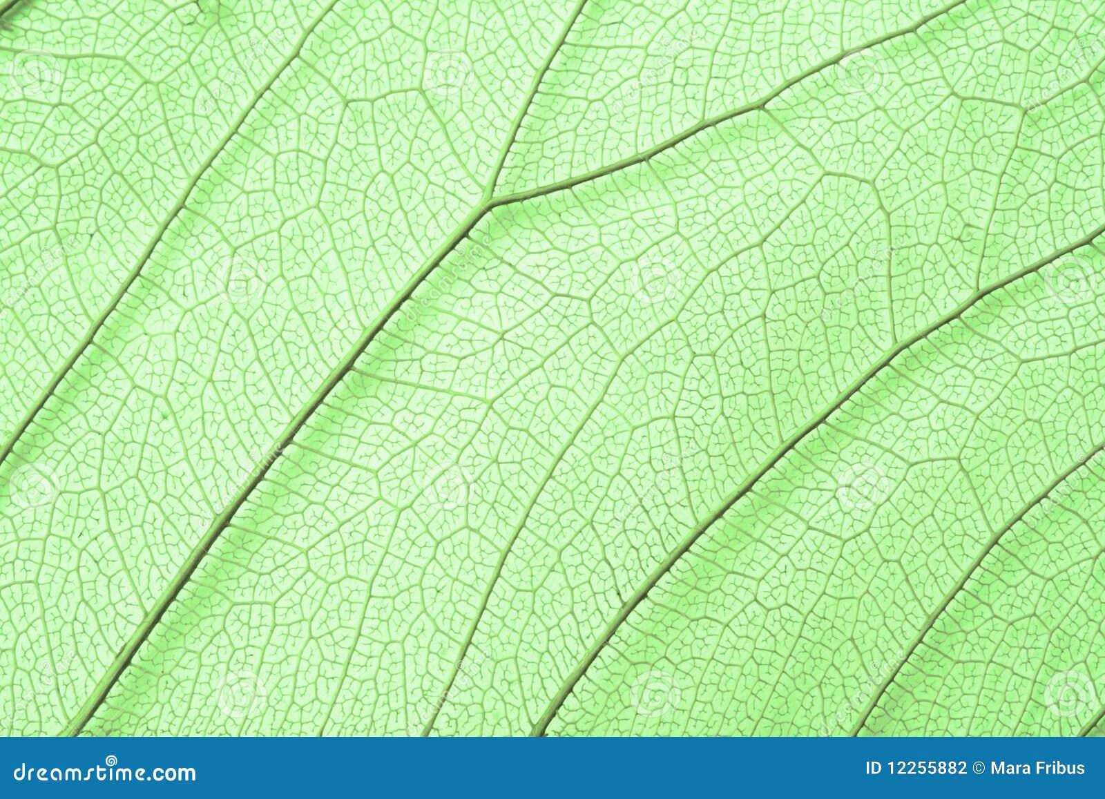 De groene structuur van het skeletblad