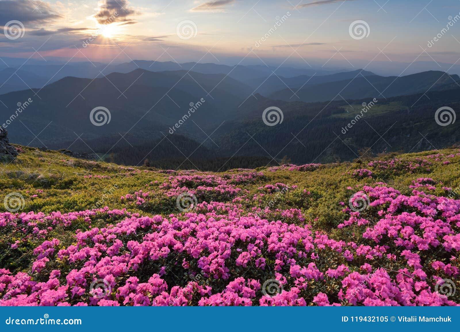 De groene vallei hoog op de bergen in de zomerdag is spangled met vele aardige roze rododendrons De zonsondergang met stralen