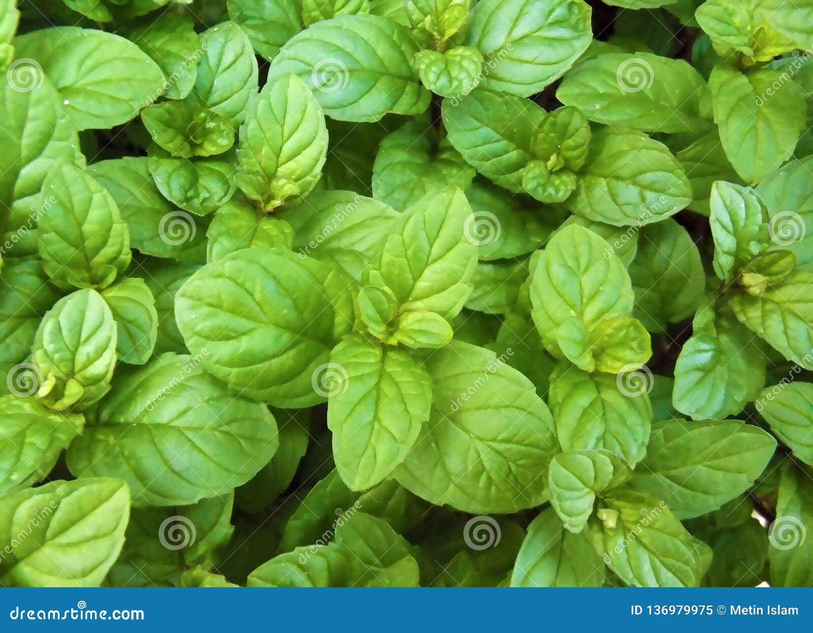 De groene Verse Gezonde Munt verlaat Natuurlijke Achtergrondpatroon