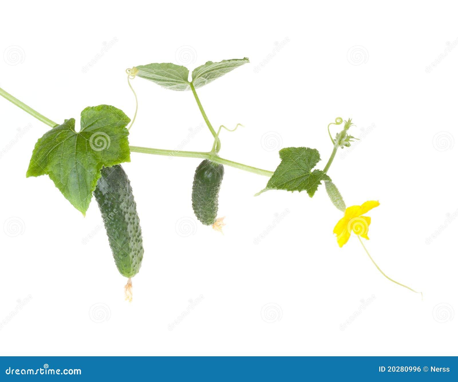 De groenten van komkommers met doorbladert en bloeit