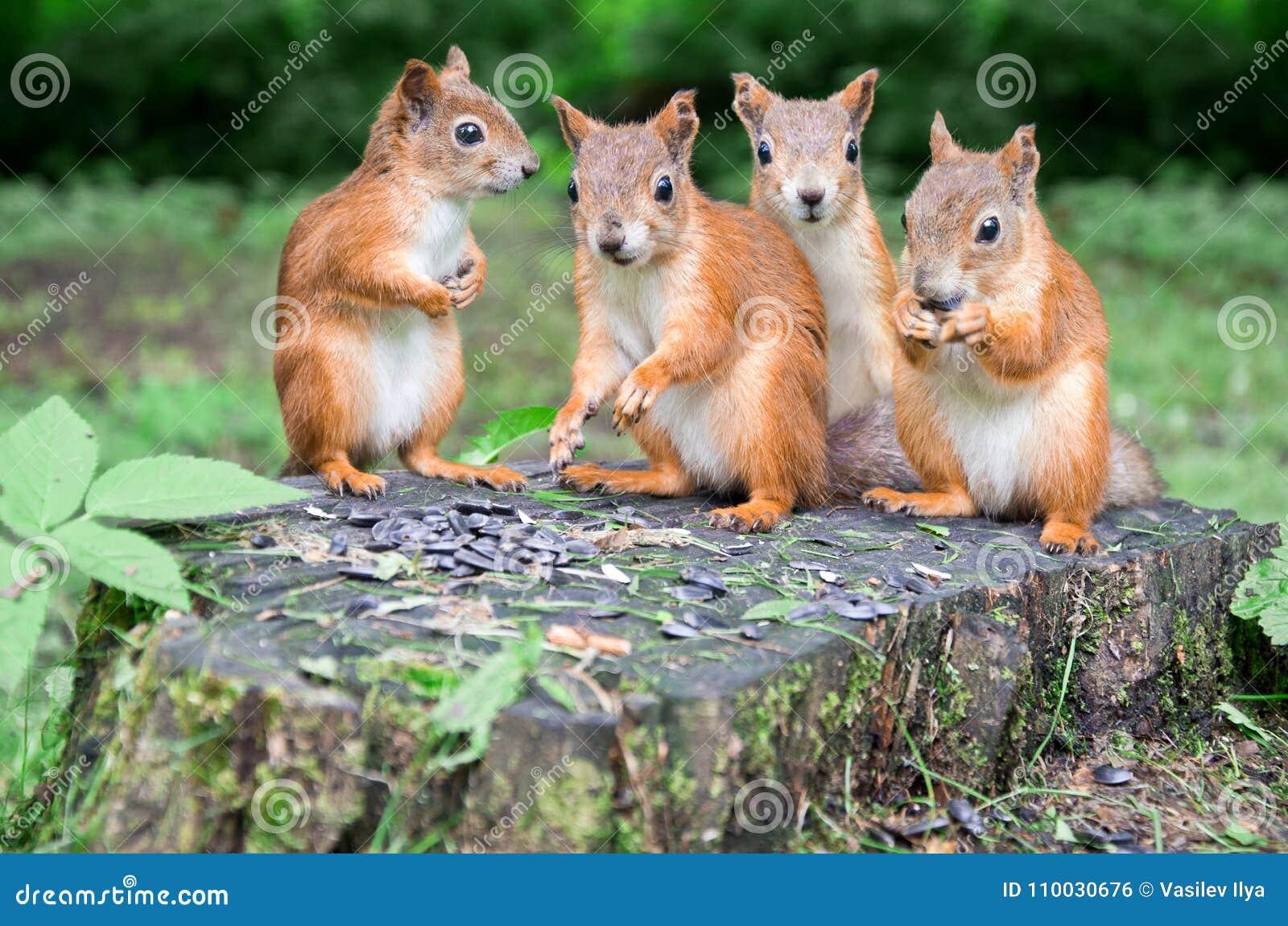De groep rode eekhoorns eet zonnebloemzaden op de stomp