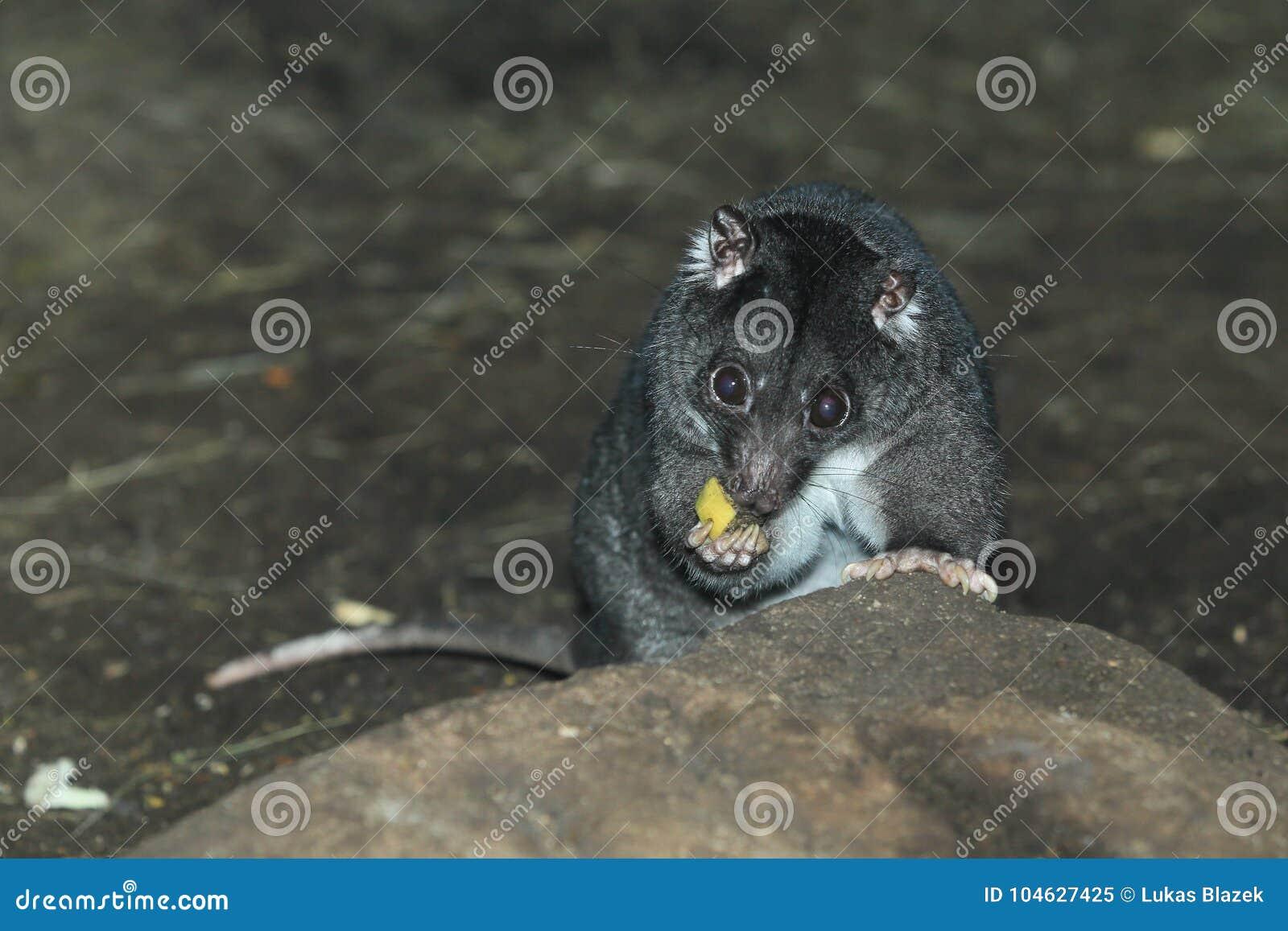Download De Grondcuscus Van Nieuw-Guinea Stock Afbeelding - Afbeelding bestaande uit zoogdier, rots: 104627425
