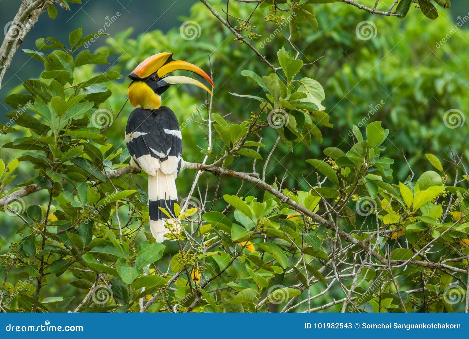 De grote een gat makende in tak van Hornbill van boom in bos